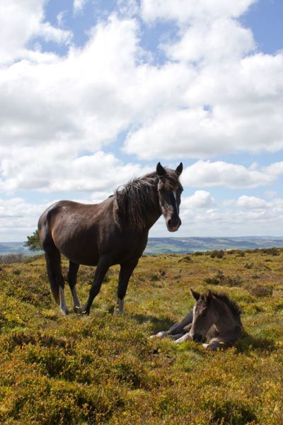 Pony and foal on the common