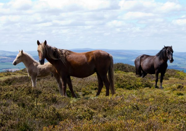 Quantock ponies on the common