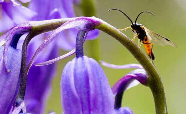 Sawfly on bluebells