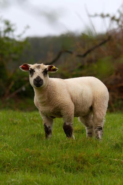 A good sturdy lamb