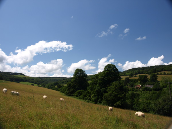 Sheep grazing the Old Rectory fields