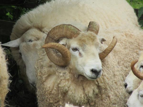 Jasper, White-face Dartmoor Pedigree Ram