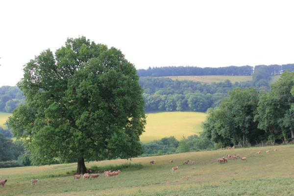 Sheep in shade of oak tree