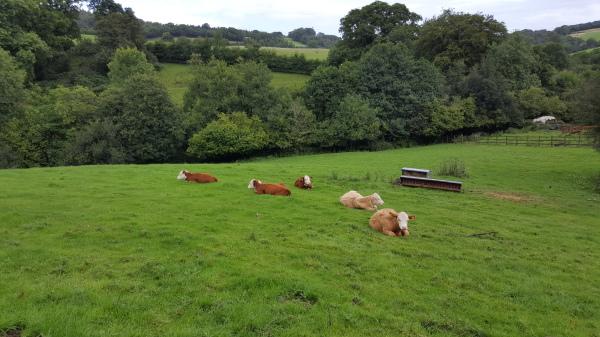 Calves near cottage