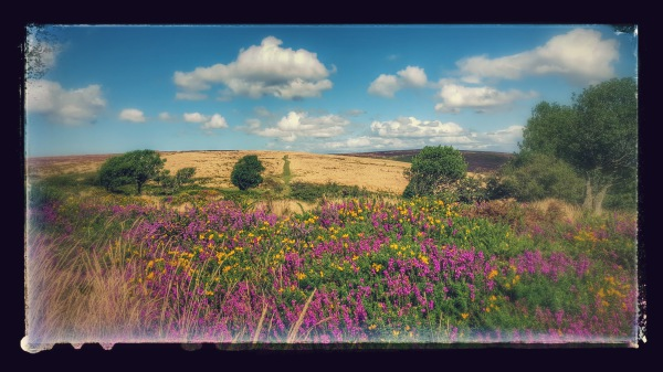 Bell heather near Black Hill