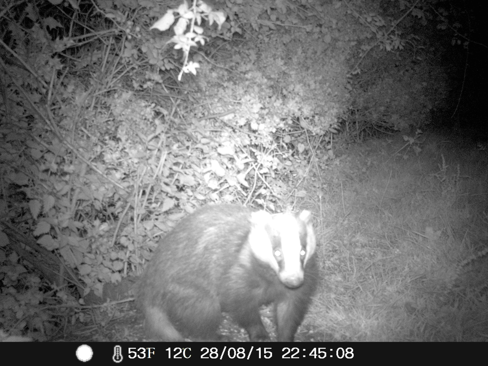 Badger surprised by flash