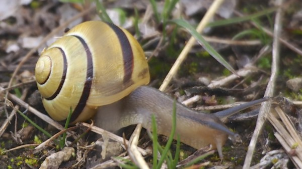 Young Snail