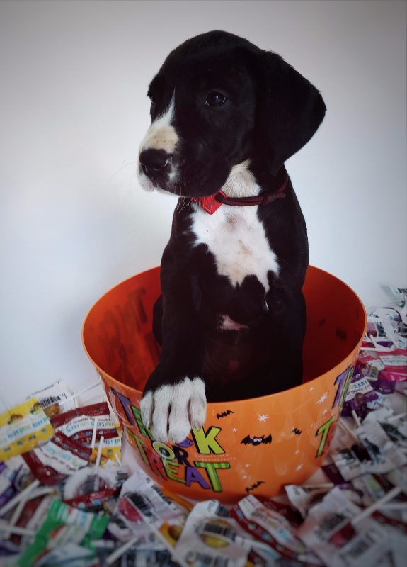 great dane breeder available puppies now