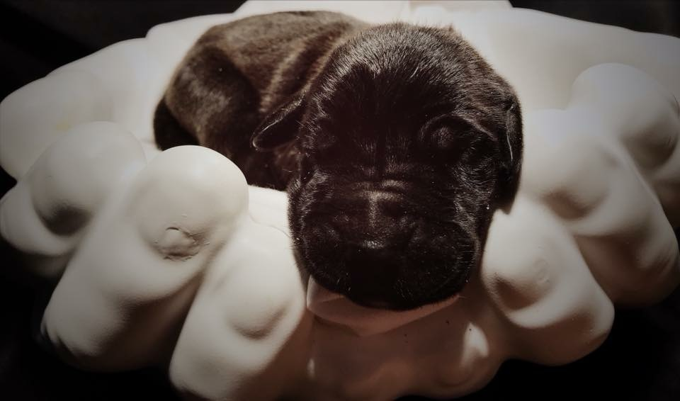 Available Great Dane Puppies