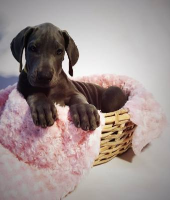 available great dane puppy