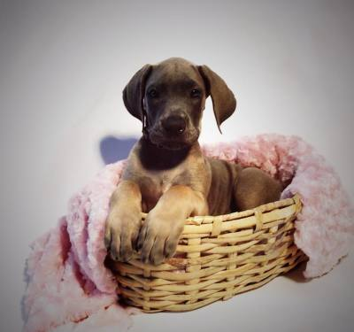 great dane puppy for sale in us