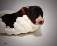 quality great dane puppies for sale