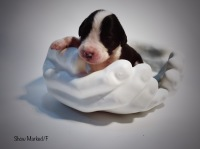 show marked great dane puppy for sale