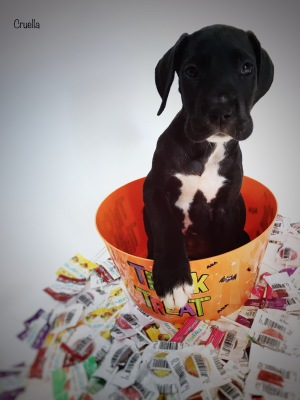 mantle great dane puppy for sale