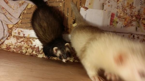 Ferrets 2