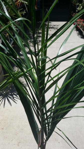Queen Palm