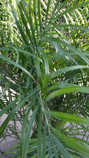 Pygmy Date Palm 1