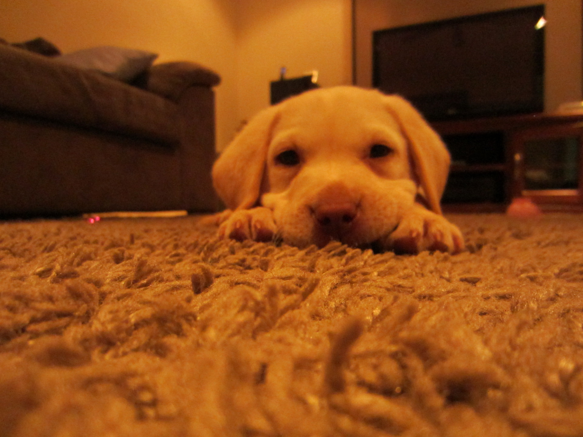 Picture of labradoor puppy on clean fluffy brown rug