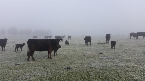 We weigh and tag calves come rain, hail or shine!