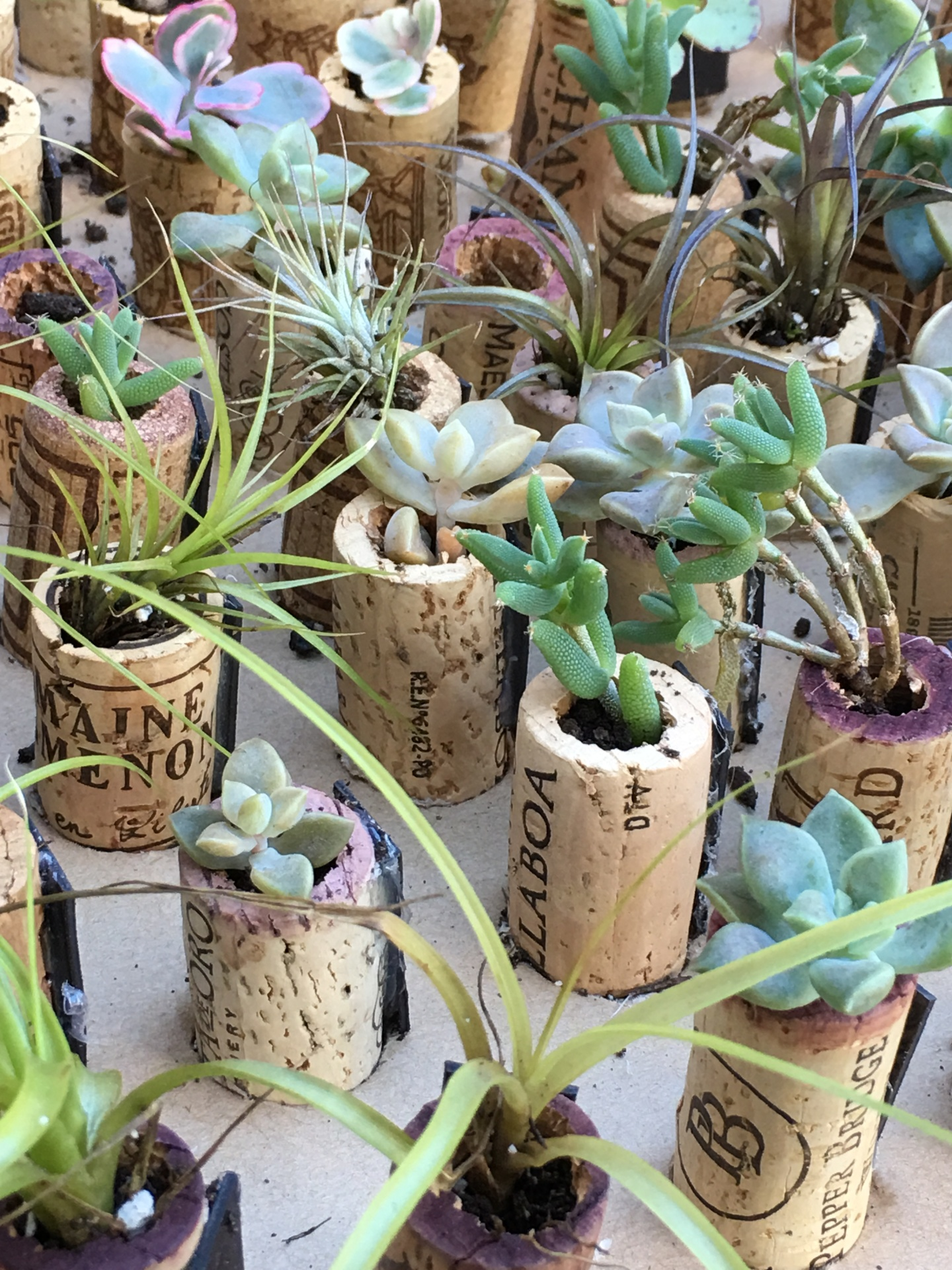 Living Succulent in a cork.