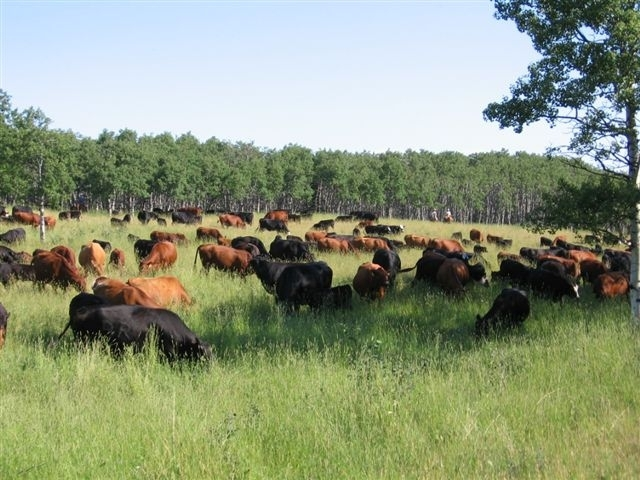 Cows in the Timothy Field