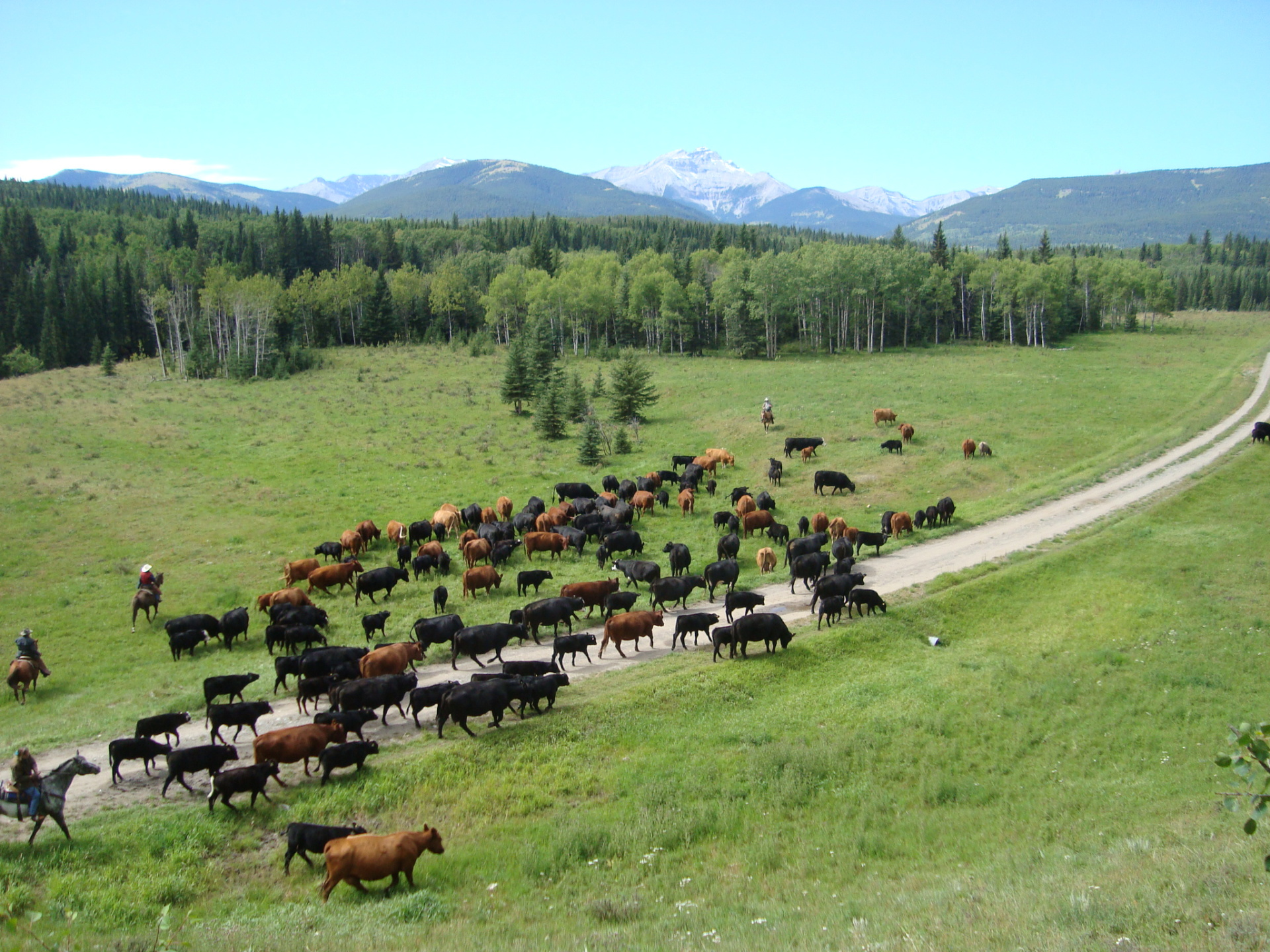 Moving Cattle West