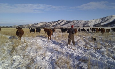 Checking cows in the winter