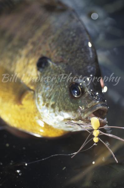 Sunfish--