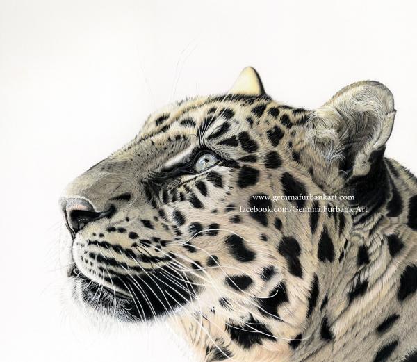 Amur Leopard in Coloured Pencil