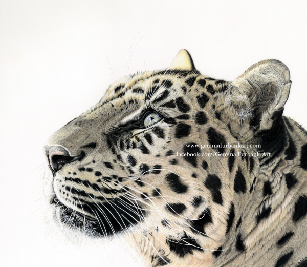 Amur Leopard in Coloured Pencil