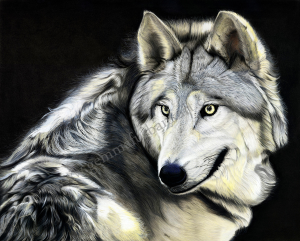 Gray Wolf in coloured pencil.