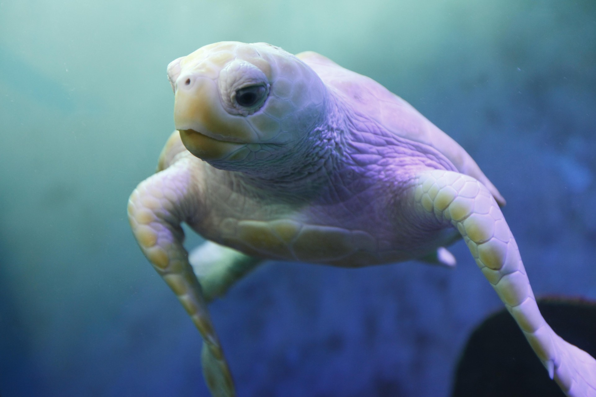 Nimbus the albino Sea Turtle
