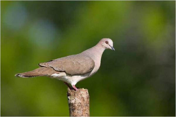 White-tipped Doves calling