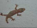 Local gecko does not sell insurance