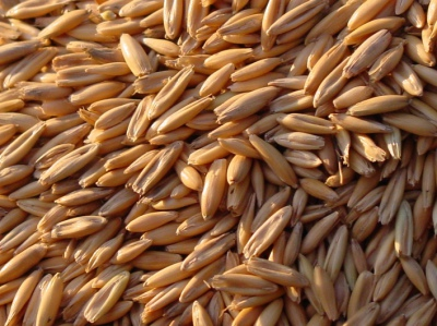 How Important is Barley in a Race Horse's Diet?