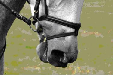 Studies Reveal Pressures of Tight Nosebands on Horses