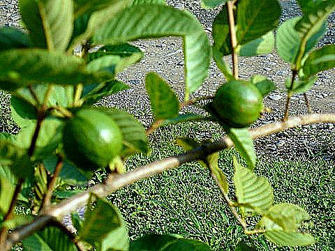 SEASONAL GUAVA ON PROPERTY