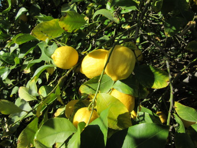 Argentine Lemon Imports - A letter to the USDA
