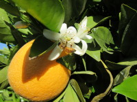 Orange blossoms and bees, a good combination for wonderful honey