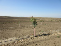 New pistachio trees planted spring of 2015