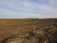 New orange trees planted spring of 2015