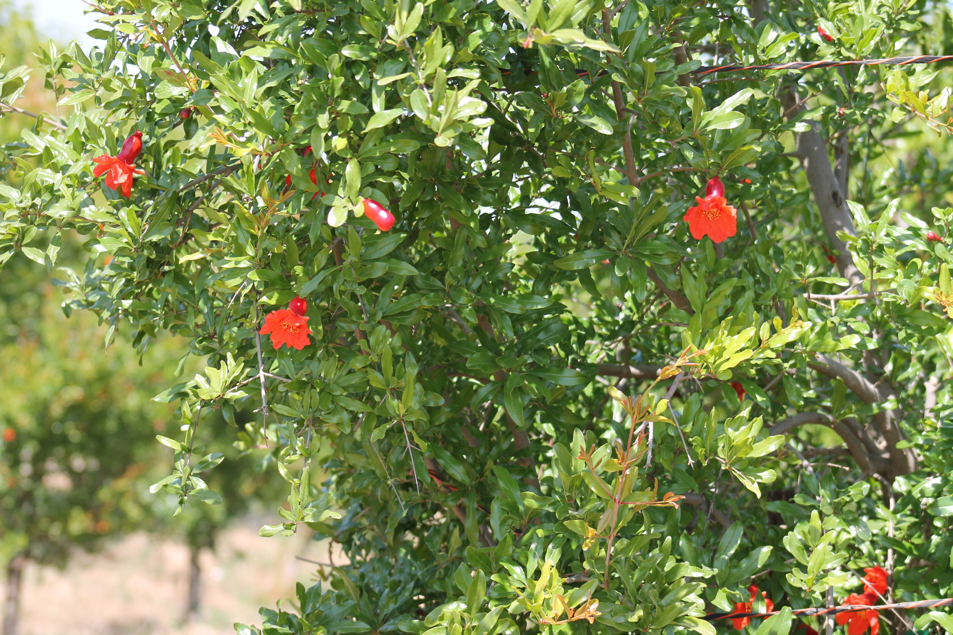 Pomegranate tree with blooms