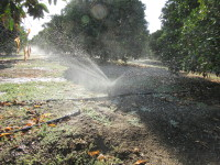 Micro sprinklers help water the trees more effectively and efficiently