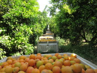 Bins of organic oranges