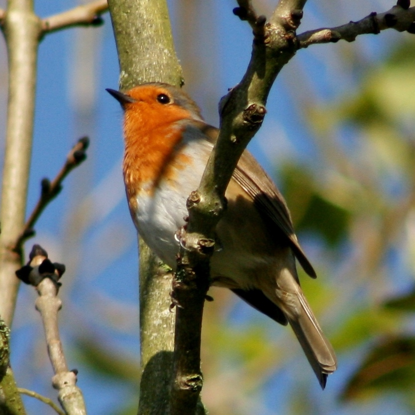 Robin in sunshine