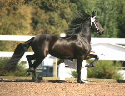 BELLA FRIESIAN STER
