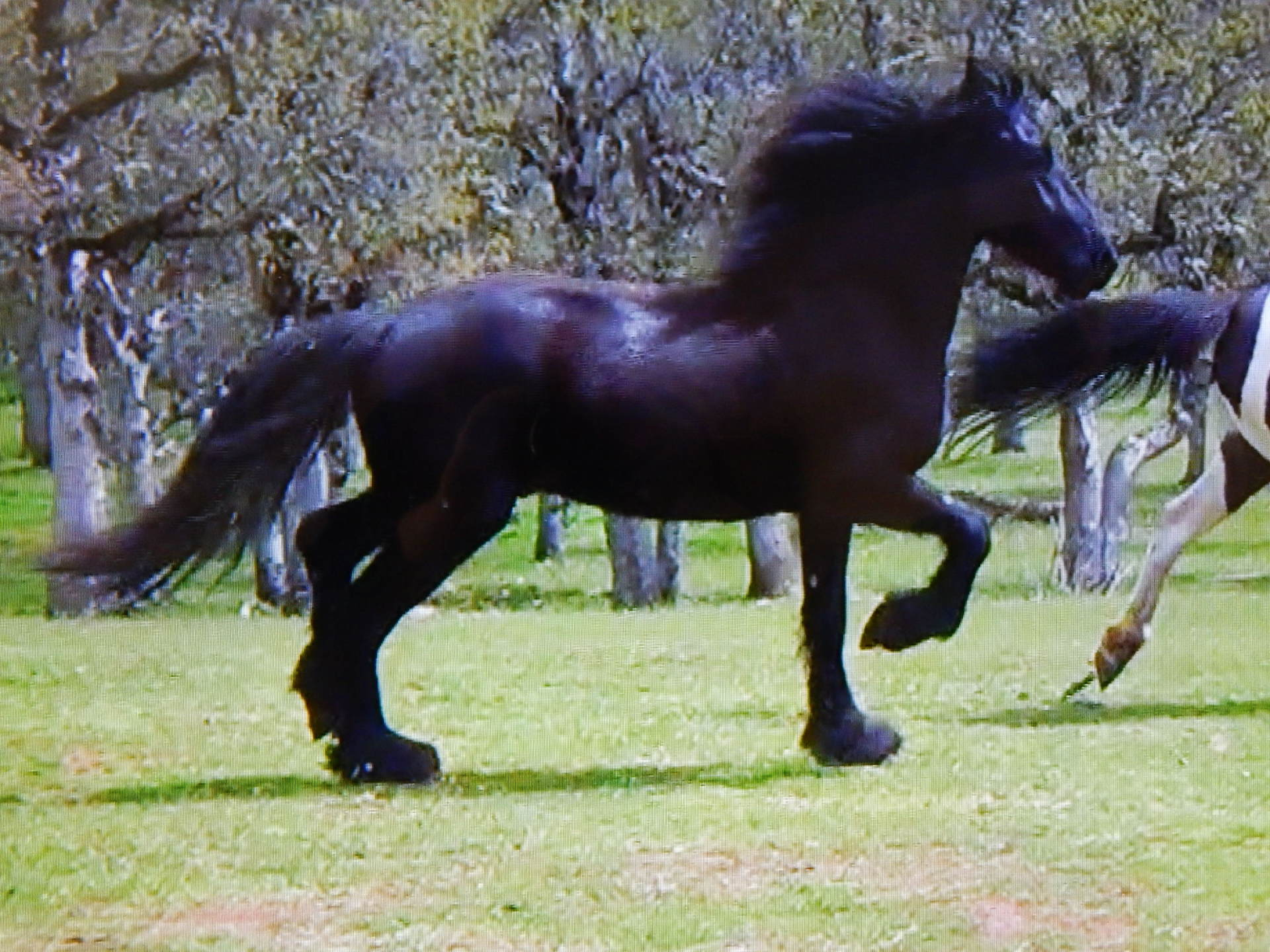 FRIESIAN STER STALLION CANIDATE RENIOR