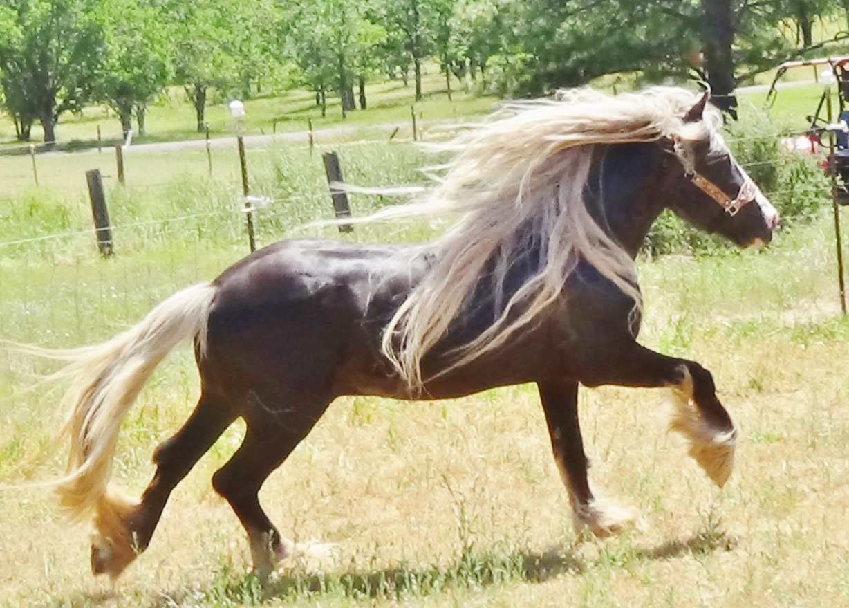 CHROME GYPSY  STALLION