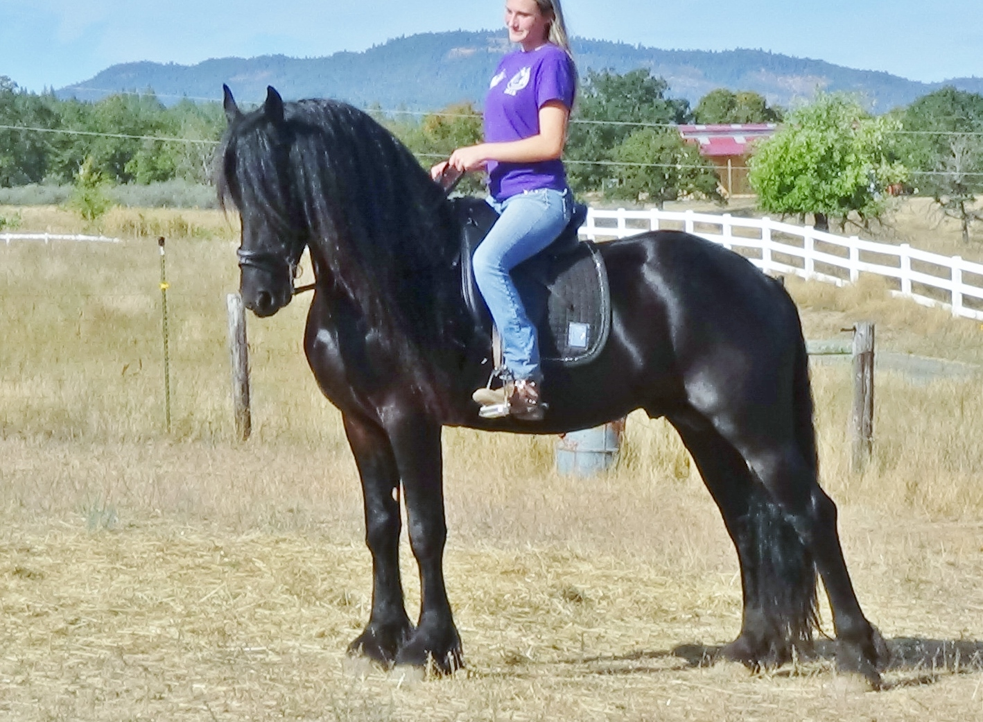KFPS FRIESIAN  STALLION