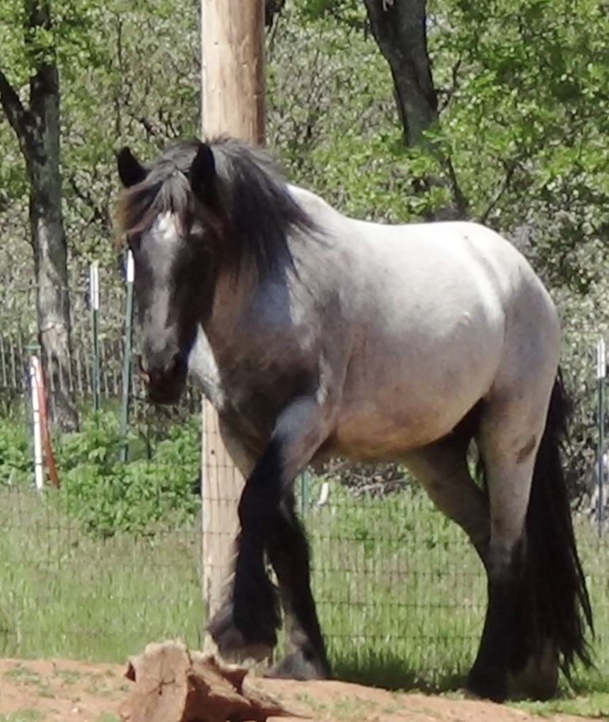 Blue Roan Gypsian